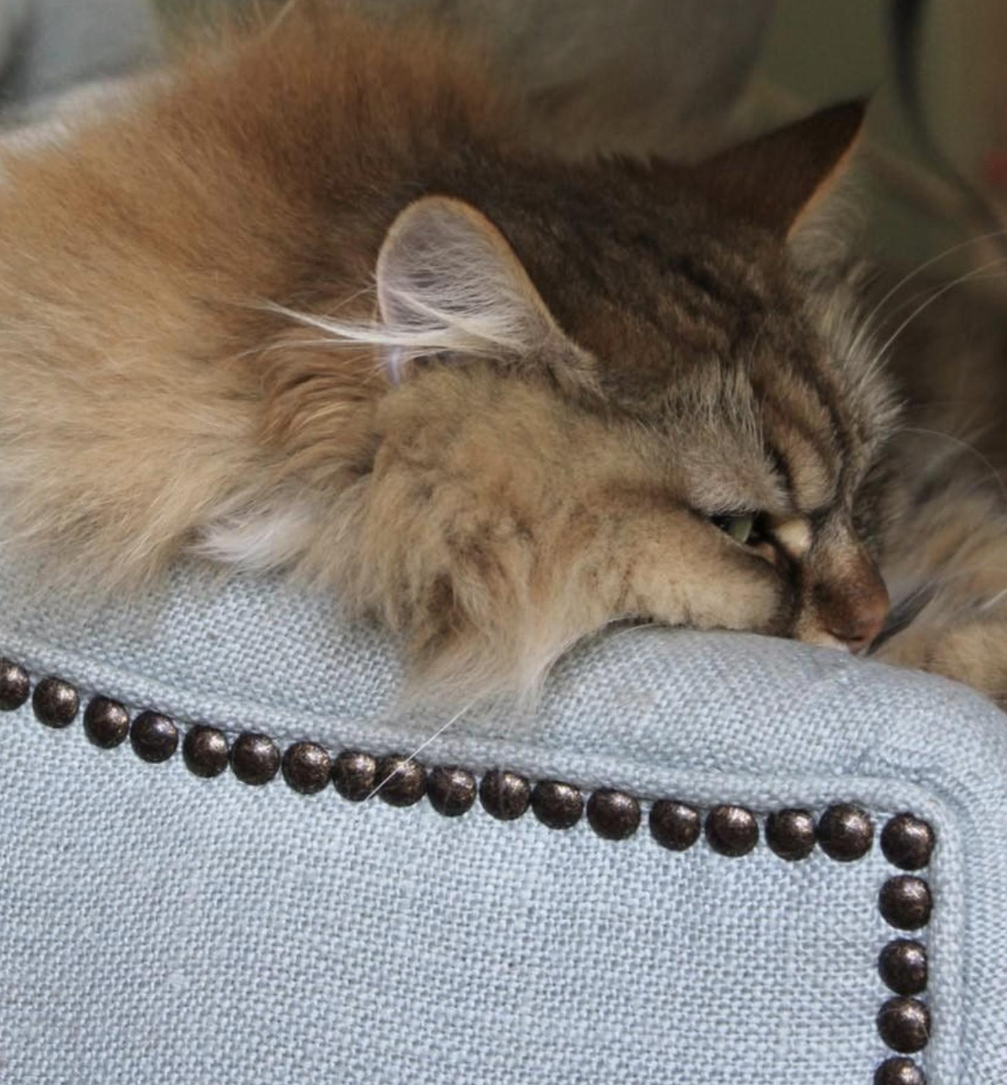 cat on sofa arm